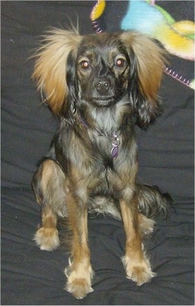 Nestle, the Long haired Chiweenie (Long haired Dachshund/Chihuahua hybrid),