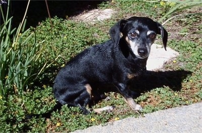 PJ the black with tan Chiweenie is sitting in a yard in front of a paved walkway
