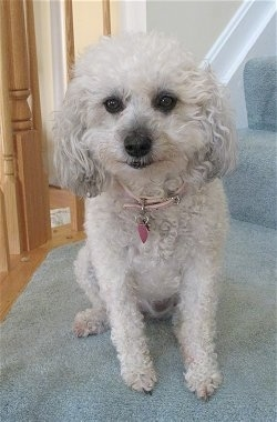 Candy, the Chonzer Bichon Frise / Miniature Schnauzer Hybrid at 7 years old