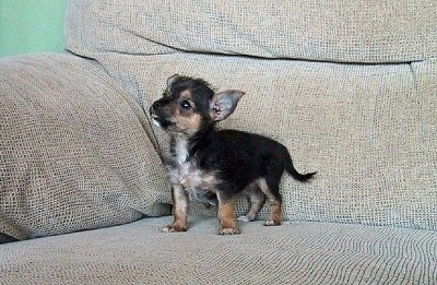 week-old Chorkie puppy (Chihuahua / Yorkie mix breed), photo courtesy ...
