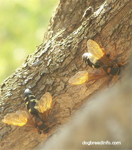 Two Cicada Killer Wasps on a tree
