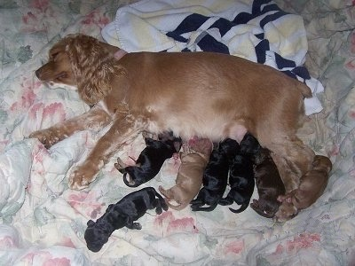 Cocker Spaniel Puppies on Newborn Cocker Spaniel Puppies