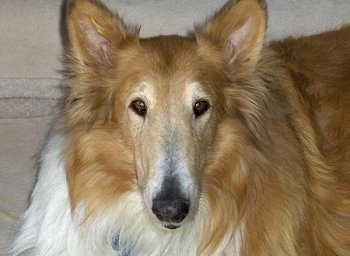 Close Up - Toby the tan and white Rough Collie is looking at the camera holder