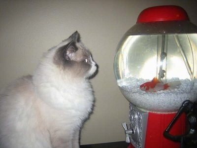 A white with grey ragdoll cat is looking at a gumball fish tank with a Goldfish in it
