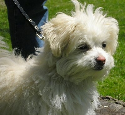 Bear, the Cotonese (Coton / Maltese hybrid) at 4� months old