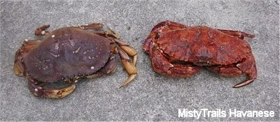 A Dungenous Crab is laying on a sidewalk next to a Red Rock Crab. The Red Rock Crab has bigger claws than the Dungenous Crab.