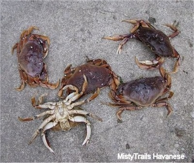 Five Dungenous crabs are on a sidewalk. One of the Crabs is upside down.