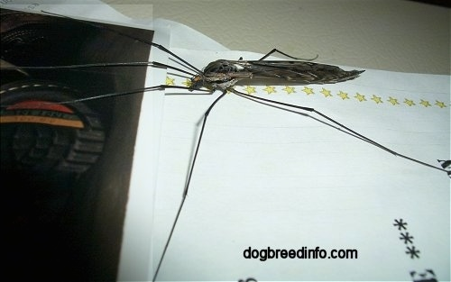 Crane Fly on a desk