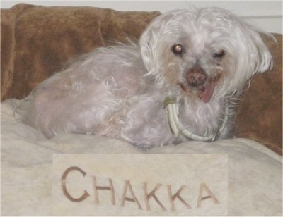 The right side of a white Maltese that is laying across a couch with the word-Chakka- written on a sheet of paper below it.