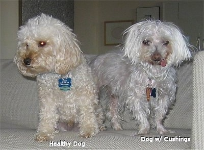 Two white Maltese are standing on a couch. The Maltese on the left is a healthy dog, the Maltese on the right has Cushings Syndrome
