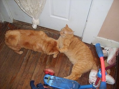 Dusty the orange Pomchi is standing on a hardwood floor and Sunny the orange tiger cat is laying against the door with a childs bicycle in the background and a pair of pink and white Timberlands shoes behind the cat