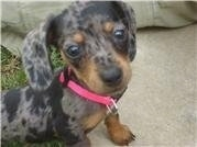 Close Up - Precious the Dachshund puppy is wearing a hot pink collar and sitting on a carpet