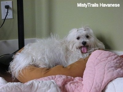A longhaired, panting white pregnant dam is laying across a brown dog bed pillow against a green wall. It is looking forward with its mouth open and tongue out. The dog has dark round eyes and a dark nose.