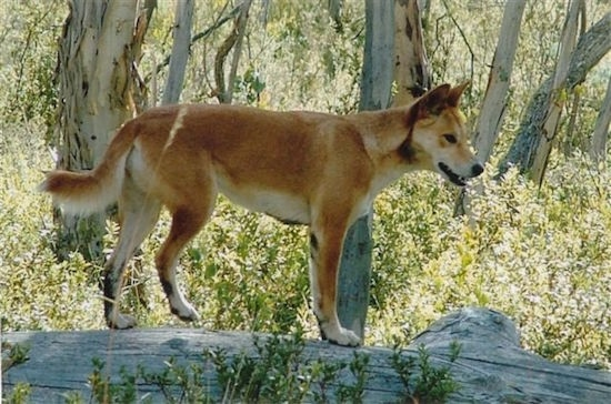 Talli the Dingo is standing on a downed tree in the woods
