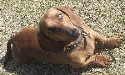 Trotcky the brown Dachshund is laying in a field and looking up.