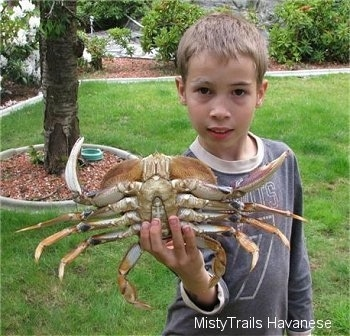 A boy is holding a Dungeness crab in one hand. The boy is exposing a crabs underside.