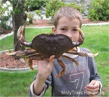A boy is standing in a yard and he is holding a Dungeness crab in one hand. The crab is extended out in a defensive stance.