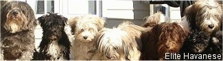 Elite Havanese Canadian Puppy & Dog Breeders in New Brunswick & British Columbia, Canada