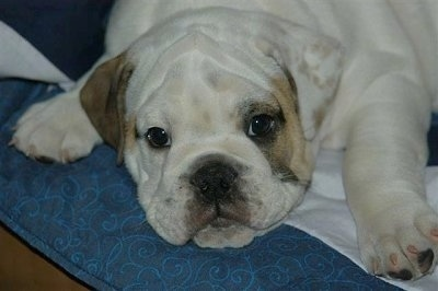 Close Up - Sonny the English Bulldog laying on a bed and looking at the camera