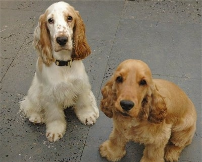 Puppies Care on English Cocker Spaniels Aj  Left  And Tommie Iacono At One Year Old