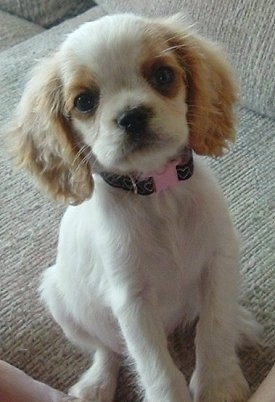 Mini cocker spaniel