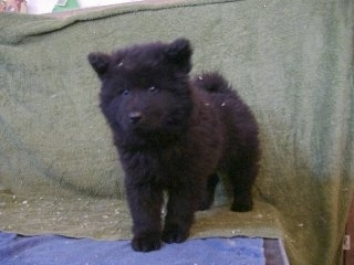 Ares the black Eurasier puppy is standing on a table and there is a green backdrop behind it. He looks like a teddy bear.