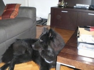 Ares the black Eurasier is laying in front of a coffee table and there is a grey couch behind him
