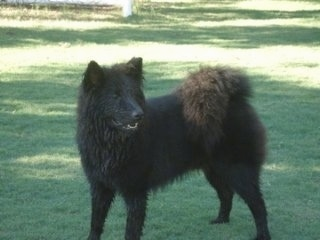 Ares the black Eurasier is standing on a grass field and looking to the left. Its mouth is open a little and his tail is curled over his back.