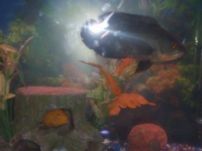A black and orange tiger oscar and an orange cichlid in the wooded look of a fish tank.