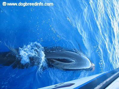 The backside of a False Killer Whale that is swimming really close to a boat.