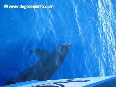 A False Killer Whale is swimming under a boat in a body of water.