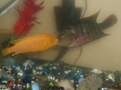 An Orange Cichlid fighting with a Tiger Oscar in a fish tank.