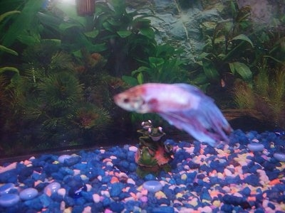 A white and red Siamese fighting fish is swimming over blue and pink gravel. There is a frog decoration in the tank