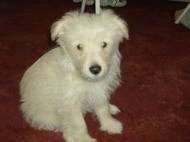 A white Fourche Terrier puppy is sitting on a carpet and looking forward