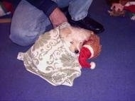 A White Fourche Terrier is laying on a floor and is wrapped in a blanket. It has its head on a Brown Teddy Bear. There is a person kneeling behind it