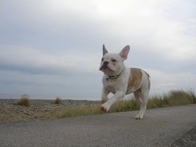 Macy, at Free Lance Bulldog (French Bulldog / English Bulldog hybrid) as a puppy