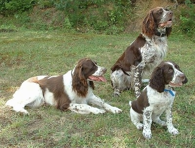 Three brown and white ticked French Spaniels are in a field. Two french Spaniels are sitting and One is laying down. All of there mouths are open and tongues are out