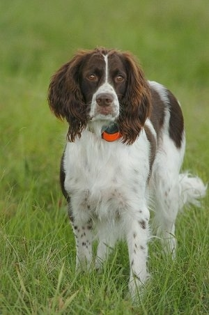 French Spaniel - Courtesy of �levage des Perdrioles Kennel