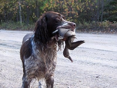 A French Spaniel is wet and standing in a dirt road. There is a dead duck in its mouth