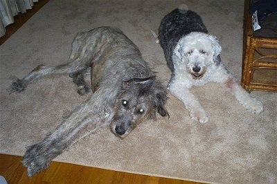 A grey Irish Wolfhound is laying on its left side next to an Old English Sheepdog. An Old English Sheepdog is laying next to a coffee table