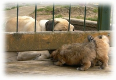 A tan Mastiff is laying down in front of a fence and a two brown Havanese puppies are trying to get to the Mastiff from the other side.