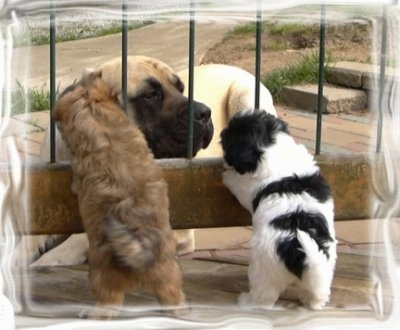 A tan Mastiff is laying in front of a fence with two small Havanese puppies on the other side jumped up at it. One puppy is tan and the other is black and white.