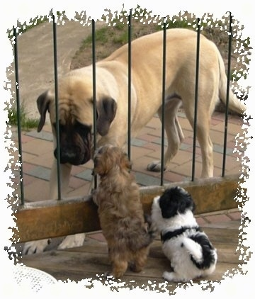 A large tan and black mastiff is outside behind a fence with two Havanese puppies on the other side looking at it, a tan puppy and a black and white puppy.
