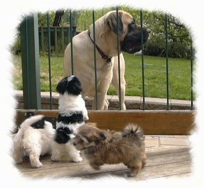 A large mastiff on one side of an outside fence with three small puppies on the other side - A black and white Havanese puppy is leaning against a fence and looking up at a tan Mastiff. A white Havanese puppy is trying to get under the fence. There is a brown Havanese puppy moving away from the fence