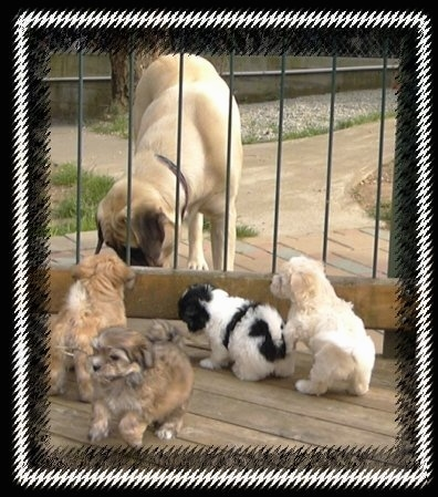 A tan Mastiff is sniffing under a fence with four small Havanese puppies on the other side, a black and white and two brown and a tan with white.