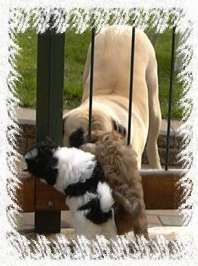 A tan Mastiff is play bowing behind a fence with a black and white and a brown Havanese puppy jumped up at the other side.