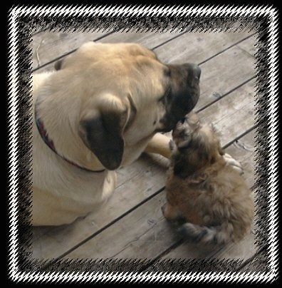 A tan Mastiff is laying next to a brown Havanese puppy outside on a wooden deck. The puppy is licking the Mastiffs face.