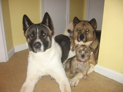Three dogs laying in the doorway inside of a house with yellow walls and a tan carpet - A tan with black ShiChi puppy, a brown with black and white Akita and a white with black and tan Akita.