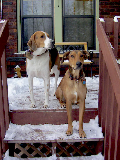 A Rhodesian Ridgeback/Smooth Collie mix is sitting on a snow covered wooden deck in front of a house on a top step with its paws on the second step next to a Treeing Walker Coonhound.