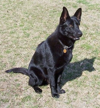 A black German Shepherd is sitting in grass looking alert.
